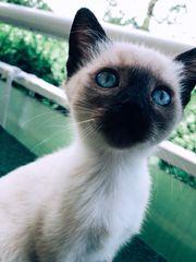Siam BKH Kitten nur noch