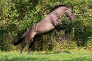 Frühbucher Decksprung Grullo Quarter Horse