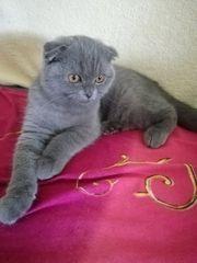 BKH Kitten blue fold abgabebereit