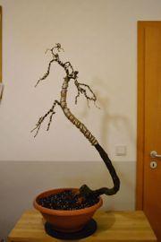 Bonsai europäische Lärche Larix decidua