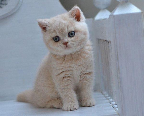 Süße reinrassige Britisch Katzenbabys