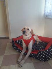 Hund Golden Labrador