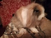 Tolle Lowenkopf Widder Kaninchen Babys