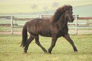 Reitbeteiligung Angebot auf Island Pferden