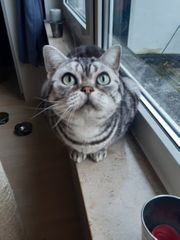 BKH Katze 5 Jahre