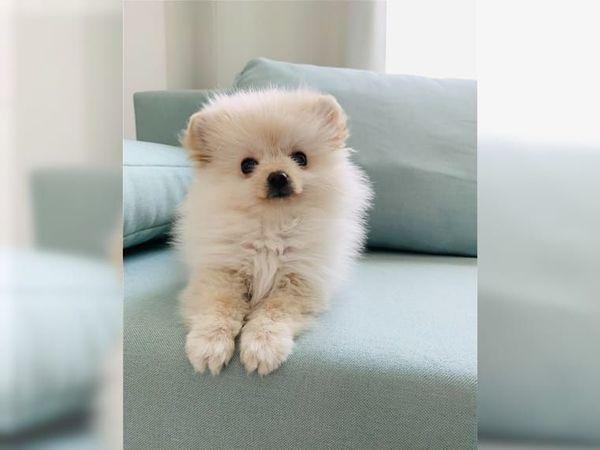 süßen Pomeranian-Zwergspitz Mini Boo Welpen