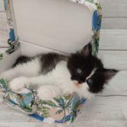Superflaschige Maine Coon Perser Kitten
