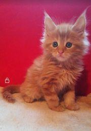 Reinrassige Maine Coon Kitten