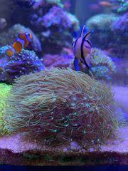 Meerwasser sps LPs Zoas Korallen