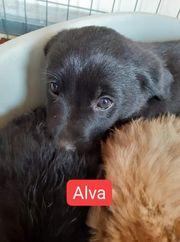 Welpin Alva sucht ihr Zuhause
