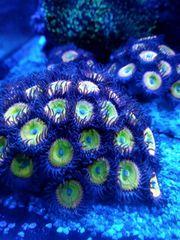 Zoanthus Korallen Sunny D Koralle