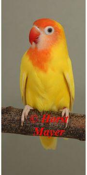 Rußköpfchen - schöne Vögel in seltenen