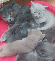 Reinrassige BKH Kitten ab dem