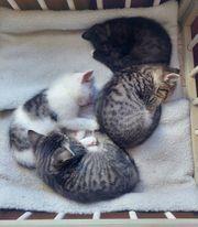 Süße Kitten EKH - Maine Coon -
