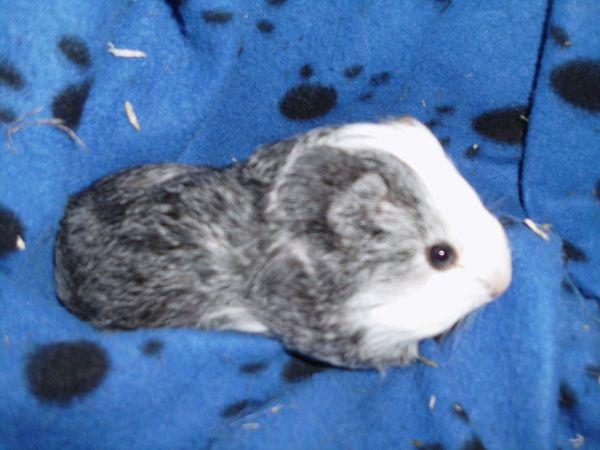 Sheltie Baby Meerschweinchen * » Kleintiere