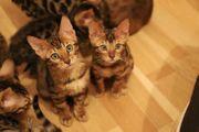 Wundervolle Bengal Kitten mit TICACats