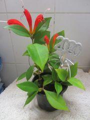 Korbpflanze oder orangeblühend auch genannt