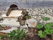 Süße kleine Griechische Landschildkröten von