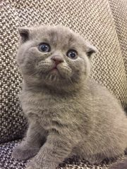 Scottish Fold BKH Kitten