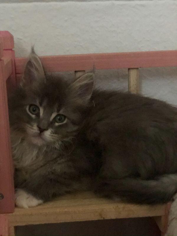 Susse Maine Coon Kitten Katzen Kater In Nurnberg Kaufen Und