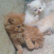 Wunderschöne Perser CHINCHILLA Kitten 4