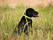 Schwarze Labrador Junghündin