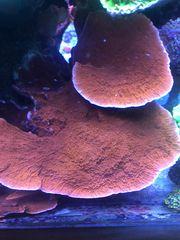 Meerwasser Montipora Platte