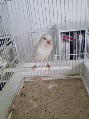 Weißer Kanarienvogel
