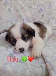 Welpe Balou sucht sein Zuhause