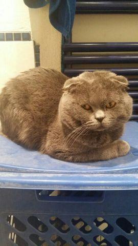 Katzen - Deckkater Kein Verkauf