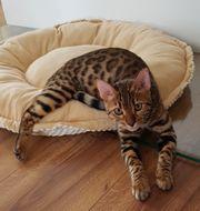 6 Monate alte reinrassige Bengalkatze