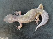 Leopardgecko 2020 Weibchen Männchen reine