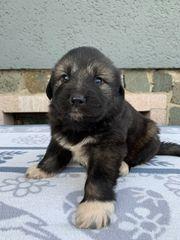 Sarplaninac Welpen Jugoslawischer Herdenschutzhund