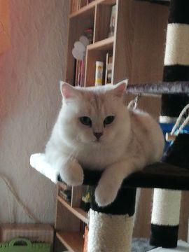 Katzen - Deckkater Reinrassige BKH Silver Shaded