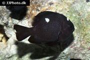 Meerwasser 4x Dreifleck Preußenfisch suchen