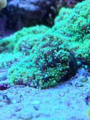 Koralle Rhodactis Scheibenanemone