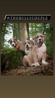 AmericanBullyXL Puppys