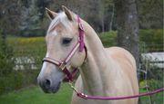 Reitbeteiligung auf westerngerittenen Quarter Horse