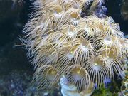 Parazoanthus Korallen Ableger für Meerwasser