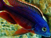 Malawi Protomelas taeniolatus boadzulu red