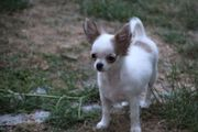Chihuahua Welpe Schecke