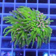 Meerwasser Korallen Euphyllia glabrescens