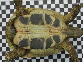 Reptilien, Terraristik - Griechische Landschildkröte Schildkröte männlich 9