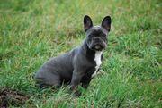 Französische Bulldog Hündin BLAU lila