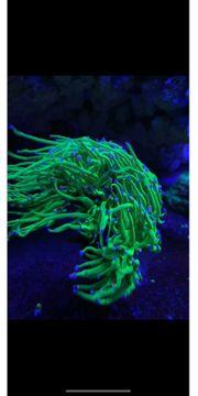 Korallen LPS SPS Ableger