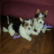 zuckersüsse Biewer Yorkshire Terrier Welpen