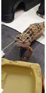 Hilfegruppe für Leopardgeckos