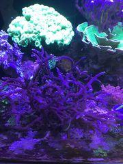 Korallenableger Meerwasser Aquarium