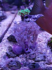 pumpende xenie Korallen