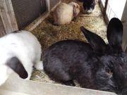 Schwarzes Rex Kaninchen 4 Monate